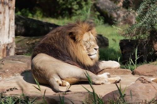 Safari del león Africano