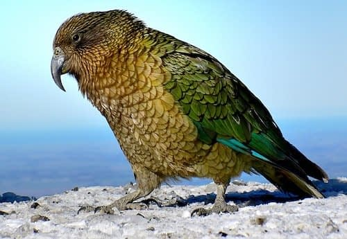 20 Especies Nativas a Nueva Zelanda